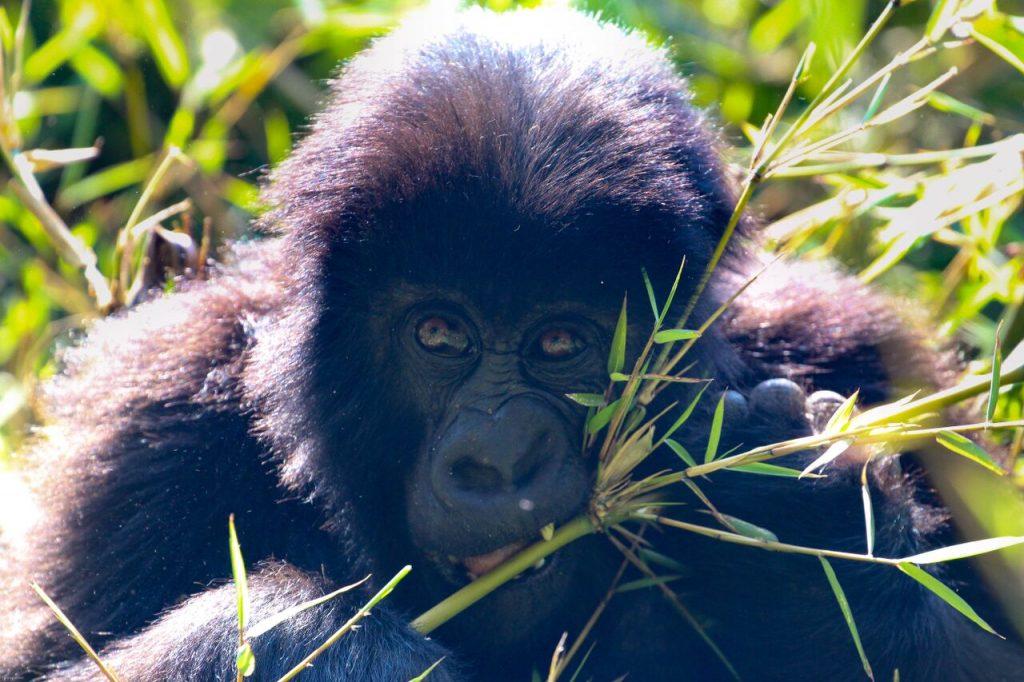 Gorilla Trek – Feed Your Soul